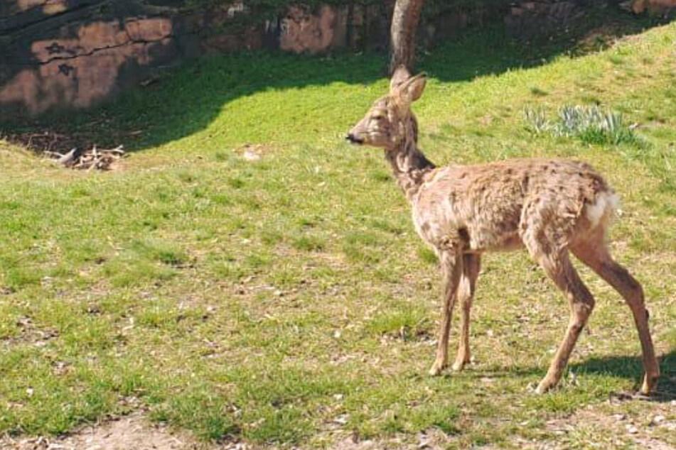 Halle in Aufruhr: Zahmes Bambi mitten in der Stadt gesichtet!