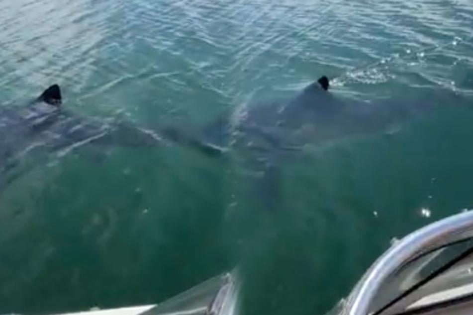 Die Familie sah diesen Weißen Hai von ihrem Boot aus.