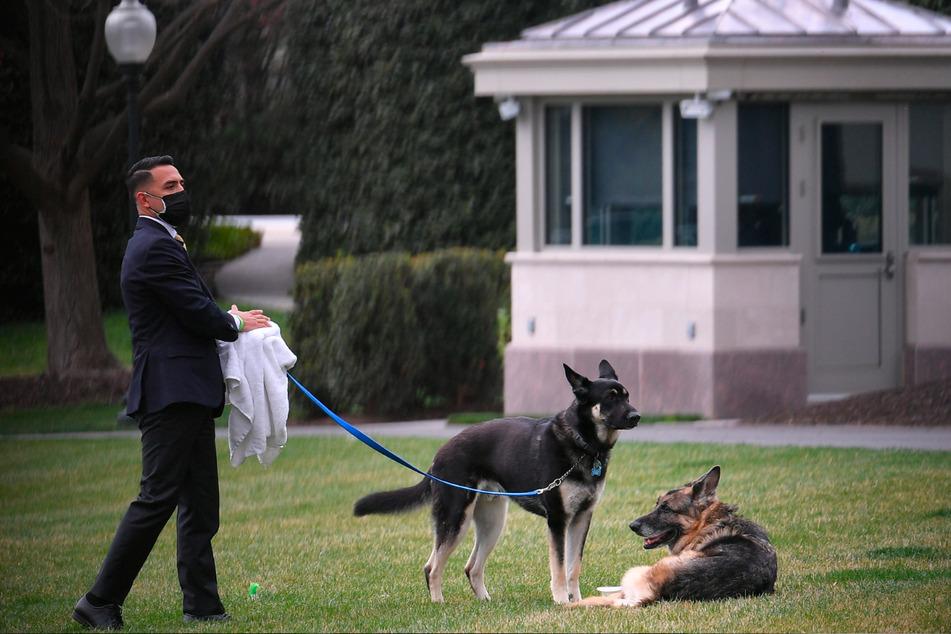 Die Schäferhunde Major (l.) und Champ werden von einem Mitarbeiter auf dem Südrasen vor dem Weißen Haus ausgeführt.