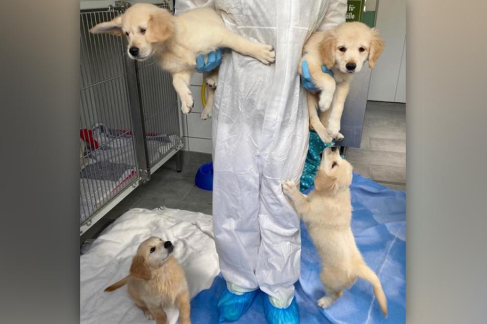 Die vier Hunde-Welpen sind im Tierheim Köln-Dellbrück in Quarantäne.