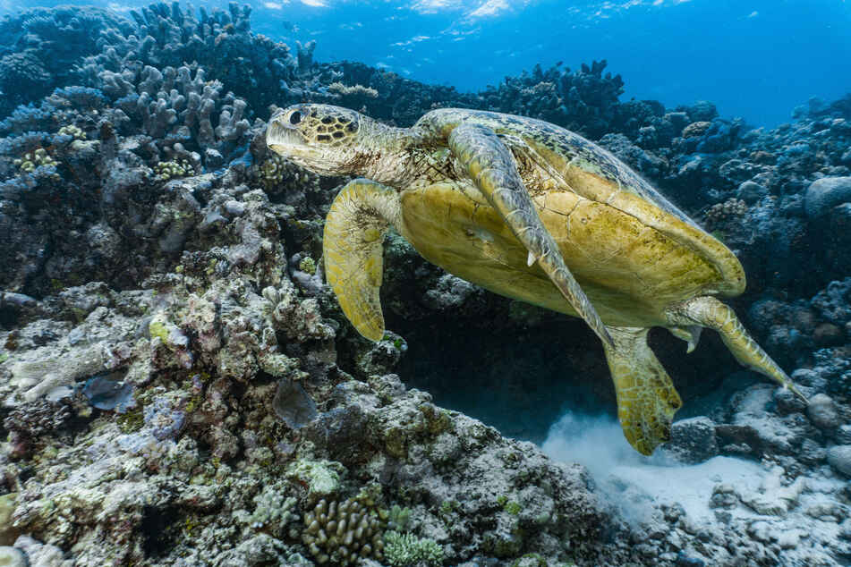 A sea turtle swims along the Great Barrier Reef.
