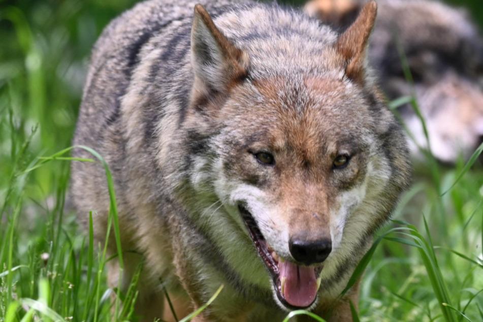 Wölfe: Es werden immer mehr: Wilde Wölfe in Deutschland auf dem Vormarsch!