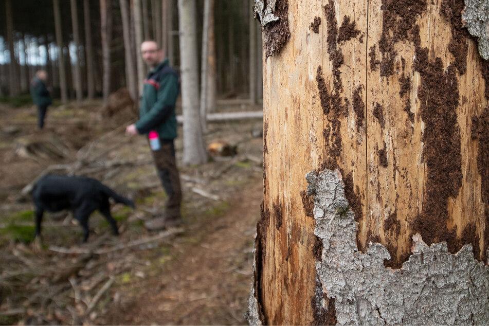 Er hat überlebt! Borkenkäfer bedroht weiterhin Sachsens Wälder