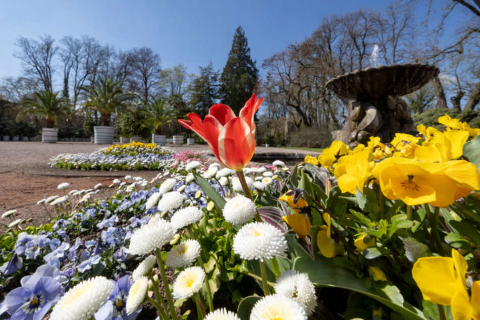 Blumen blühen in der Orangerie des Schlosspark Belvedere in Weimar. Der weitläufige Park gehört zu den 25 Außenstandorten der Bundesgartenschau 2021.