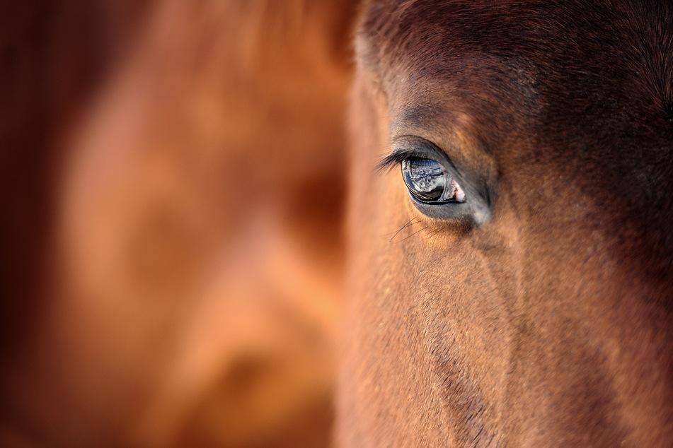 Das Pferd musste noch am Unfallort eingeschläfert werden. (Symbolbild)