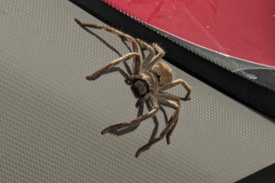 This huge hunting spider was sitting on the dashboard of Emma's car.