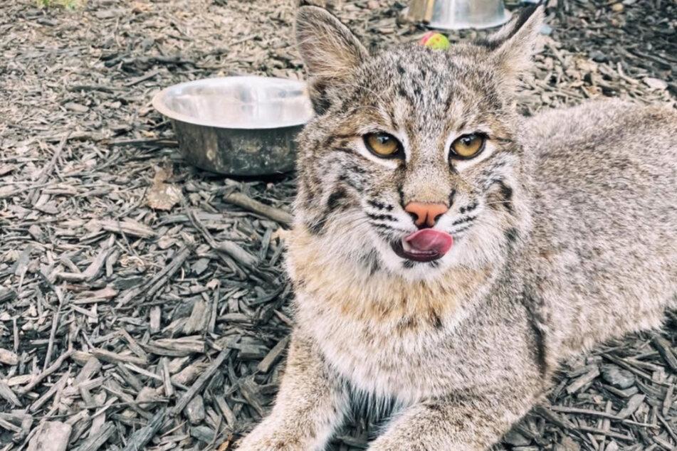T'challa ist eine ganz besondere Wildkatze.