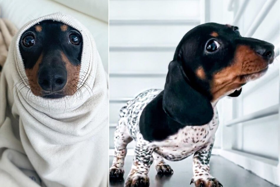 Dachshund or Dalmatian? Moo the Miami mix baffles and delights thousands on Instagram!