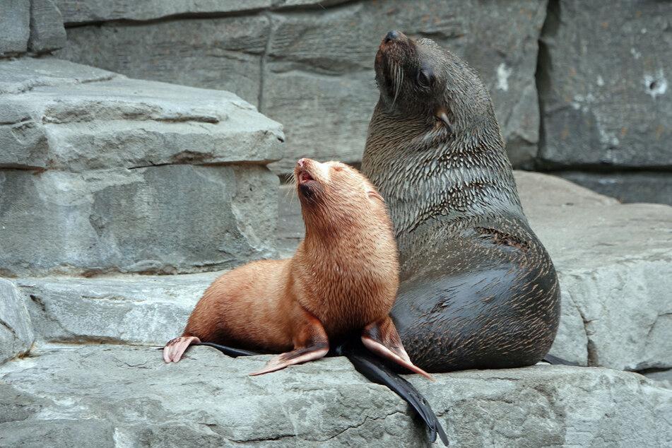Im Duett heult das Seebärenbaby gemeinsam mit seiner Mutter Lucy.