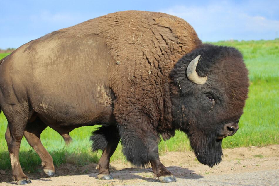 Im Białowieża-Urwald leben heute noch etwa 800 Bisons. (Symbolbild)