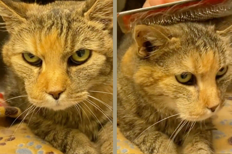 """Dass Katze """"Luzi"""" grimmig dreinblickt, kann man ihr nicht verübeln: Die betagte Samtpfote wurde mit 16 Jahren von ihren Besitzern wegen """"Unsauberkeit"""" ins Tierheim abgeschoben."""