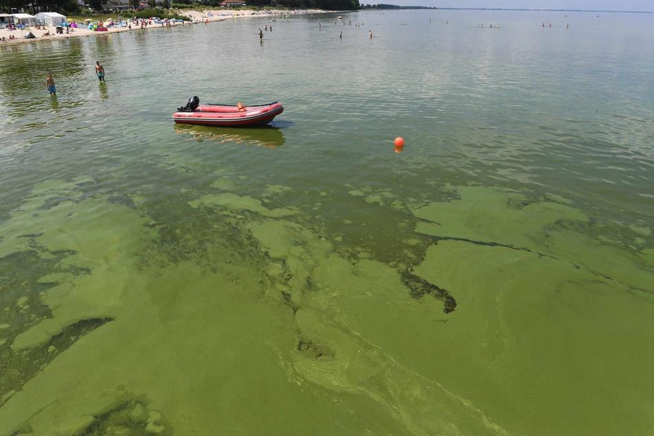Grünalgen treiben im Wasser am Strand von Lubmin. Neben hohen Wassertemperaturen ist auch die Überdüngung der Ostsee durch die Landwirtschaft eine Ursache für das Algenwachstum.