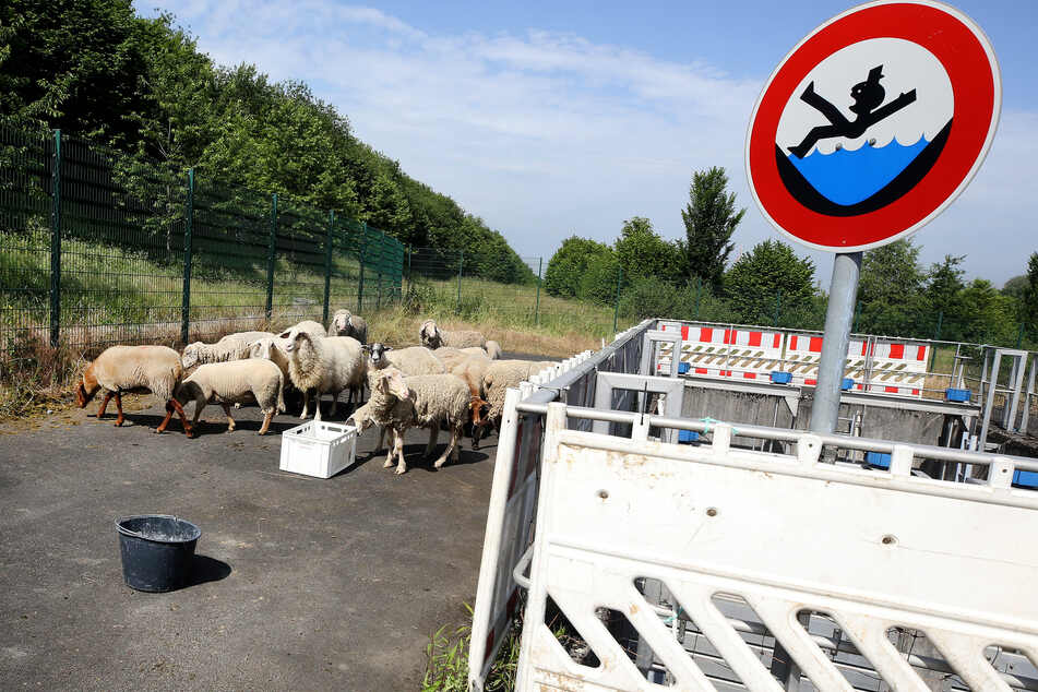 Die Schafherde ist eingezäunt, sodass kein Tier versehentlich auf die Autobahn gelangen kann.