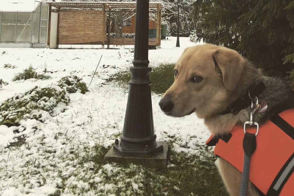 """Nach schwieriger Knie-OP: Süße Hündin """"Peppels"""" darf noch nicht im Schnee spielen"""