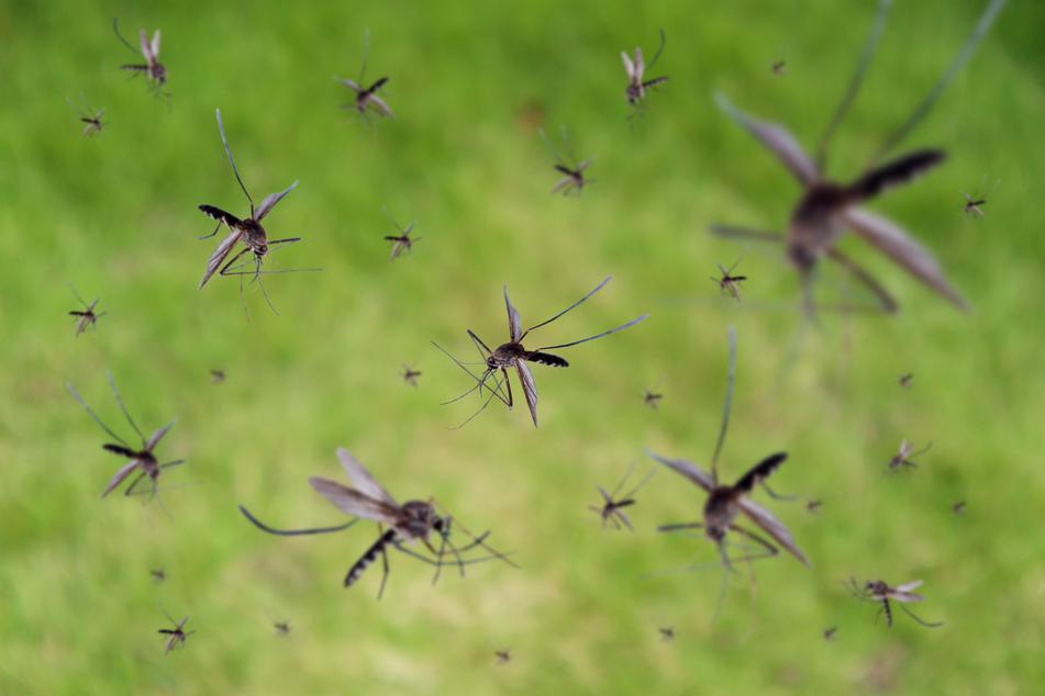 """""""Besorgniserregend"""": Neue Malaria-Mücke breitet sich rasend schnell aus"""