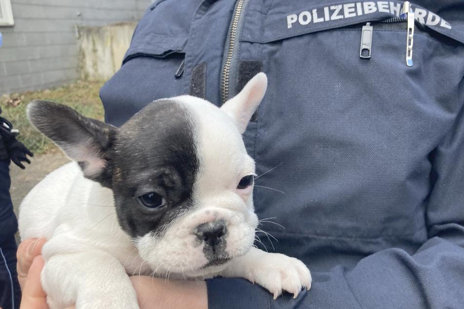 Die nur etwa sechs Wochen alte Bulldogge wurde beschlagnahmt.