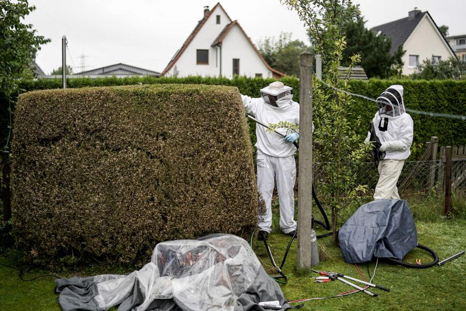 Experten entfernen das Hornissen-Nest aus dem vom offenbar vom Buchbaumzünsler angefressenen Buchsbaum.