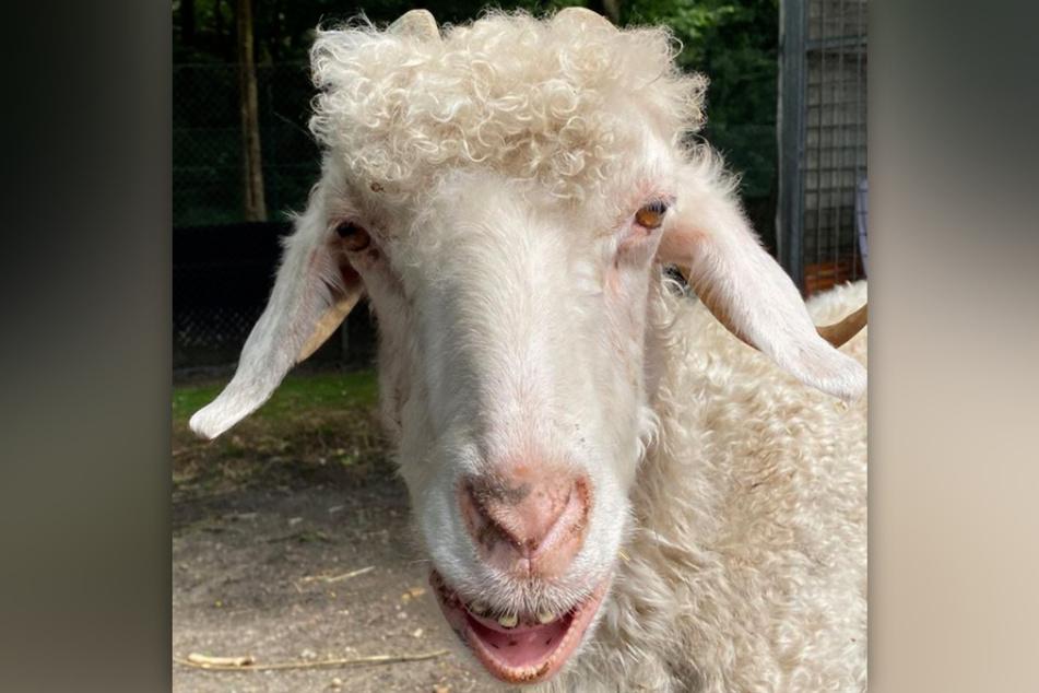 Die Mohair-Ziege Frau Holle aus dem Tierheim Bergheim ist in einem kritischen Zustand.