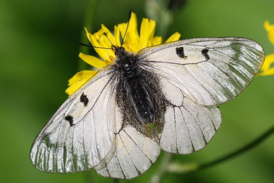 Wie viele Schmetterlinge gibt es in NRW?