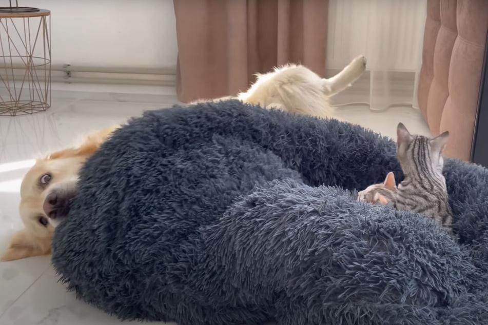 Bailey macht sich eher zum Horst als den Katzen Beine.
