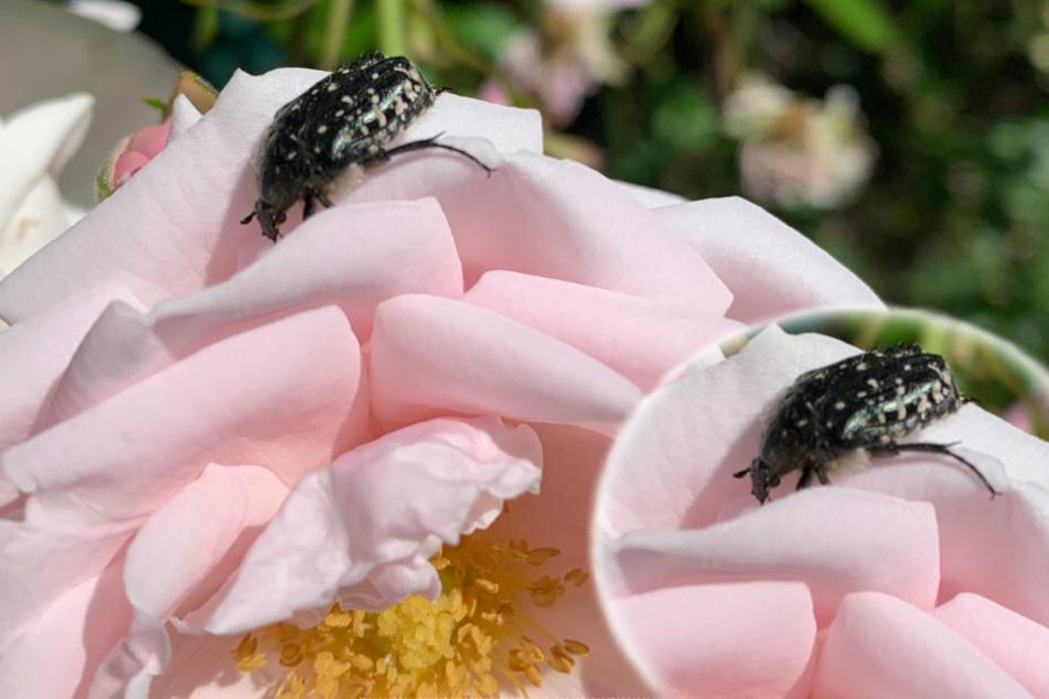 Schädling oder nicht? Was ist das für ein merkwürdiger Käfer?