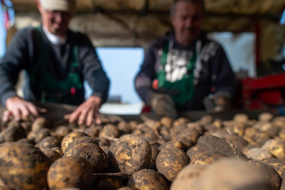 """Trockenheit unterbricht Kartoffelernte: Lage ist """"flächendeckend existenzbedrohend"""""""