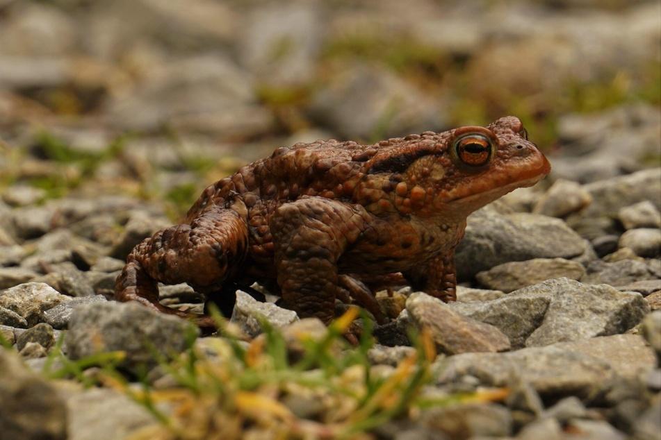 Kröten können feine Vibrationen im Boden wahrnehmen und darauf reagieren