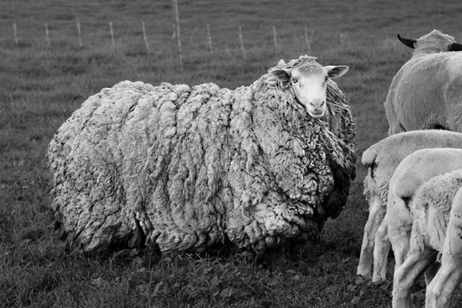 Schaf Prickles war sieben Jahre lang auf sich allein gestellt.
