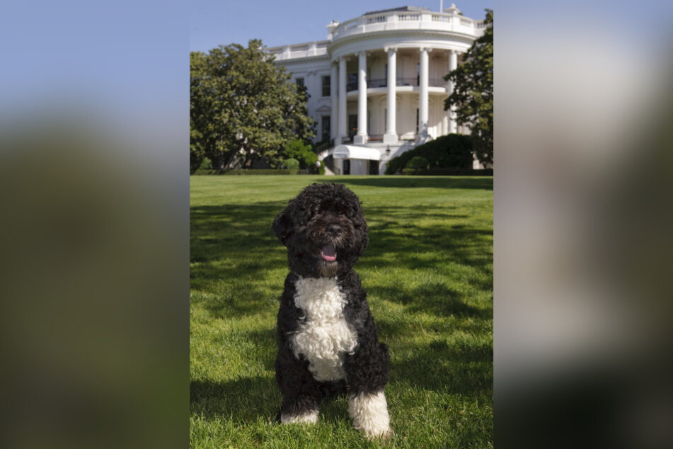 Bo, former President Barack Obama's pet dog, became an international media sensation.