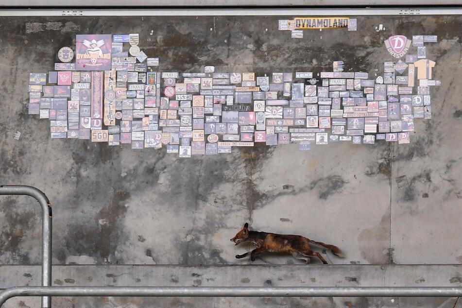 Schnell weg! Der Fuchs flitzte über die Tribünen des Rudolf-Harbig-Stadions und hielt die Security-Leute auf Trab.