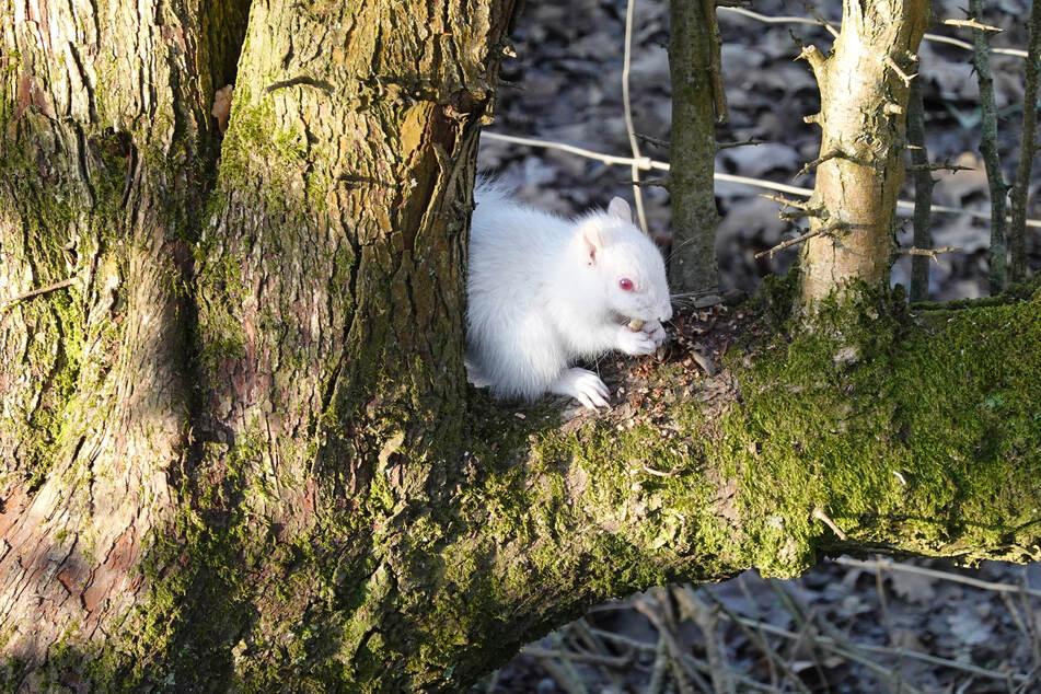Das seltene Albino-Eichhörnchen saß auf einem Baum.