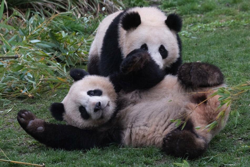 Die Panda-Zwillinge Pit und Paule spielen in ihrem Gehege im Berliner Zoo ausgelassen miteinander. Am Dienstag werden die Bärenbrüder zwei Jahre alt.