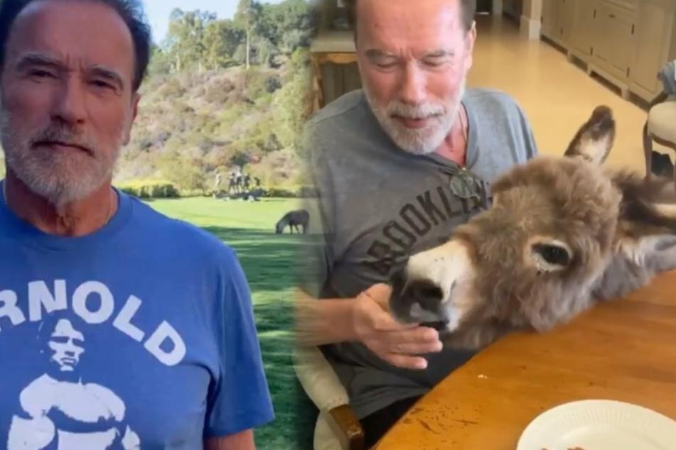 Wahre Liebe: Arnold Schwarzenegger singt für einen Esel