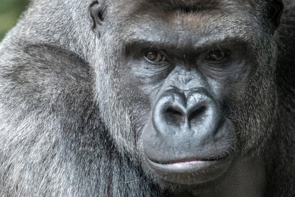 11 Jahre Gefängnis wegen Mord an Gorilla - Wilderer liefert merkwürdige Ausrede