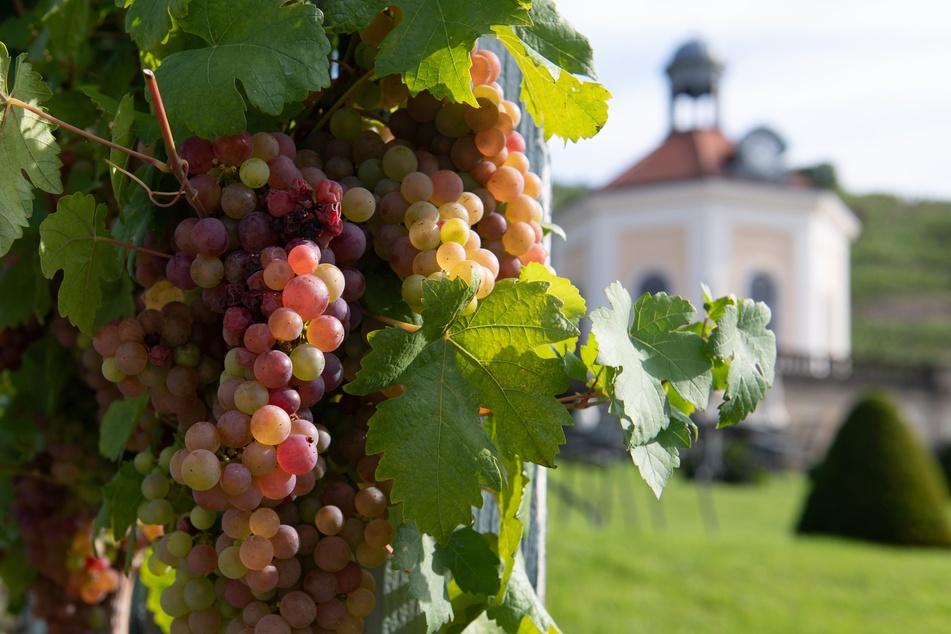 Weintrauben hängen auf dem Staatsweingut Schloss Wackerbarth vor dem Belvedere.