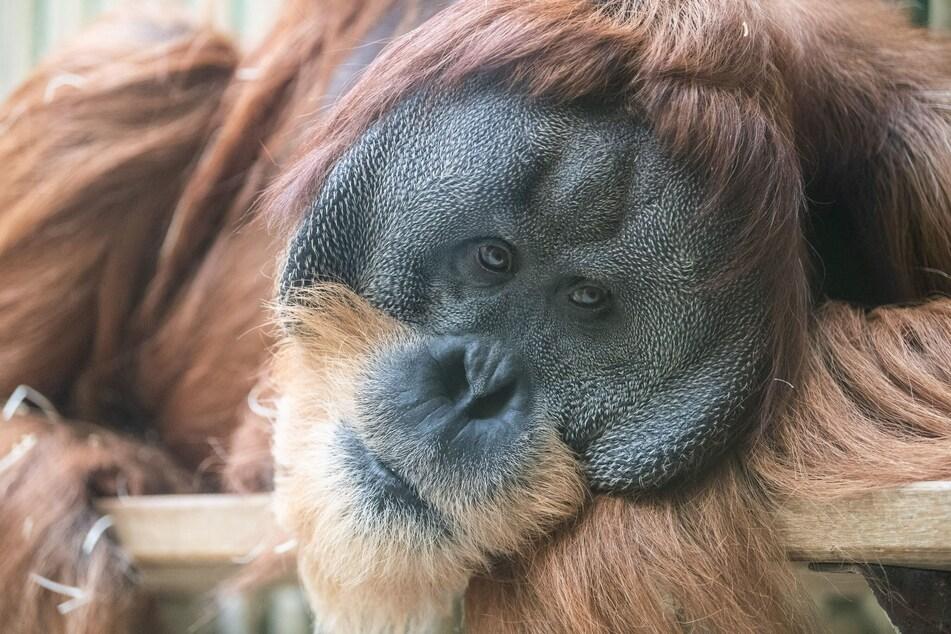 Ein Orang-Utan liegt im Dresdner Zoo in seinem Gehege.