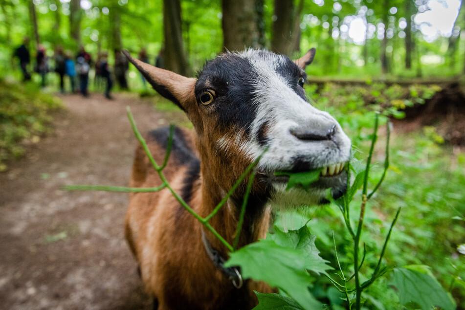 Ziegen sind Wiederkäuer und bei der Wahl des Grünzeugs wenig wählerisch.