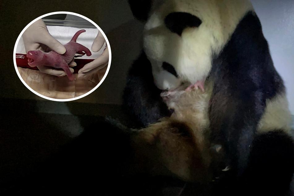 Es sind Zwillinge! Japans ältester Zoo freut sich über Panda-Babys