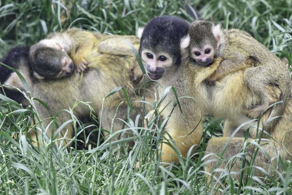 Huckepack auf dem Rücken der Mutter lernen die kleinen neugeborenen Totenkopfäffchen die Welt kennen.