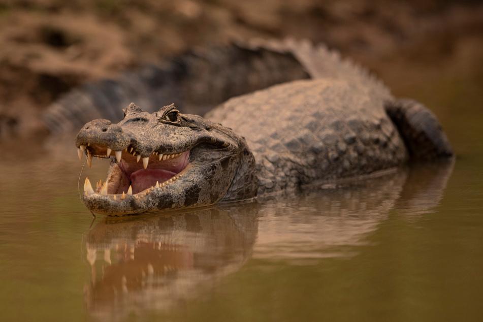 In Indonesien kommt es immer wieder zu Angriffen von Krokodilen auf Menschen. (Symbolbild)