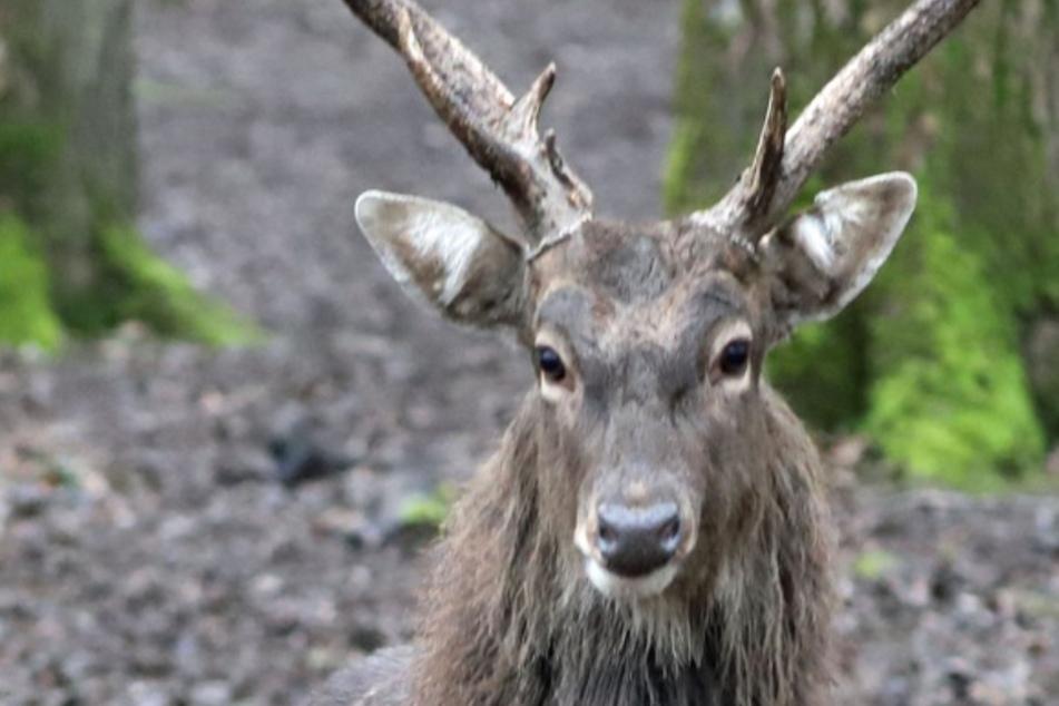 Hirsche brechen aus Tierpark aus und halten Zoo-Mitarbeiter tagelang auf Trab