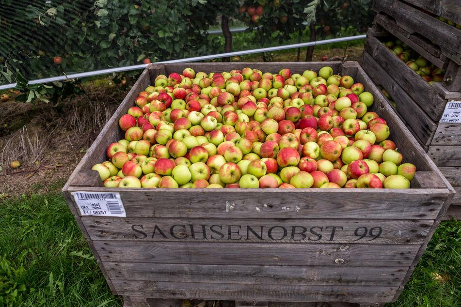 Nicht alle Äpfel kommen verpackt in die Läden - einige werden auch zu leckerem Saft.
