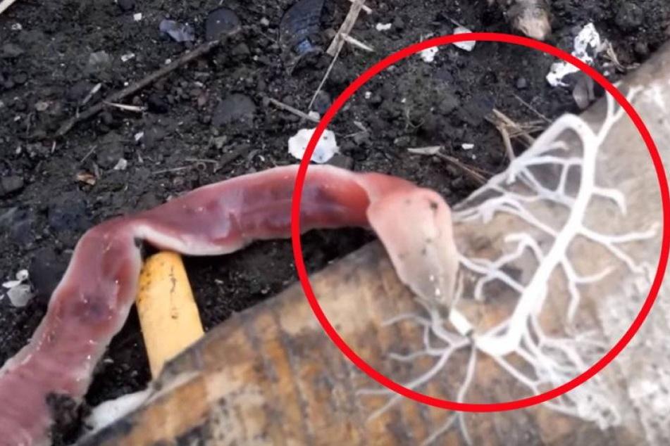 Was ist das? Seltsamer Wurm entdeckt