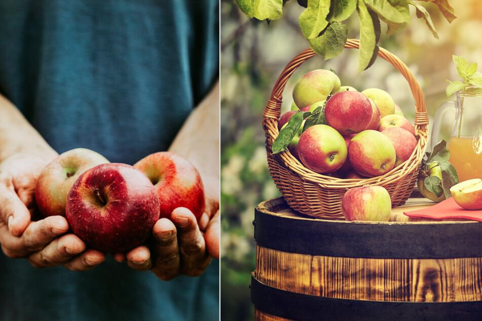 Dresden: Die Apfelernte hat begonnen: Sachsens knackigstes Früchtchen in Zahlen