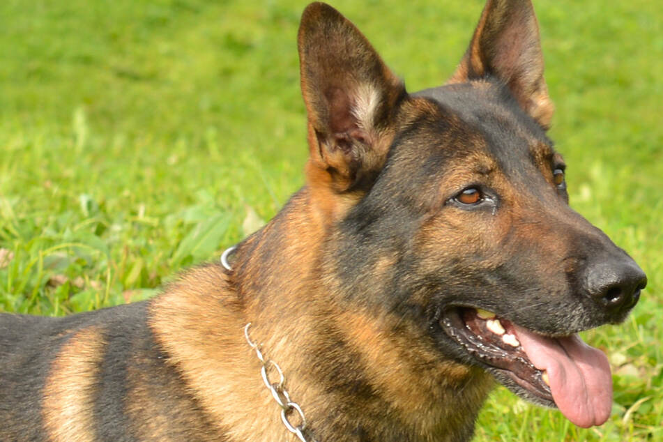 Police dog sniffs out a coked-up Swiss car thief
