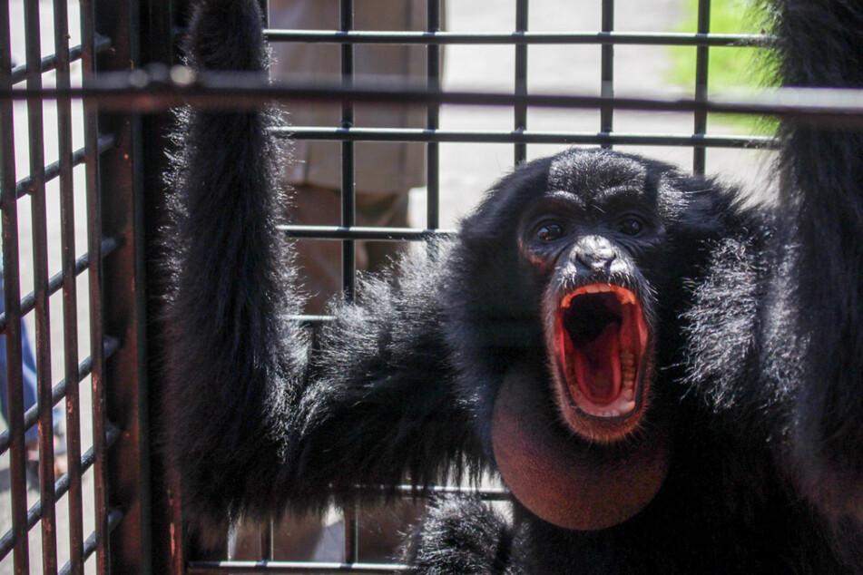 50 Tage altes Baby wird durch Affen-Attacke schwer verletzt