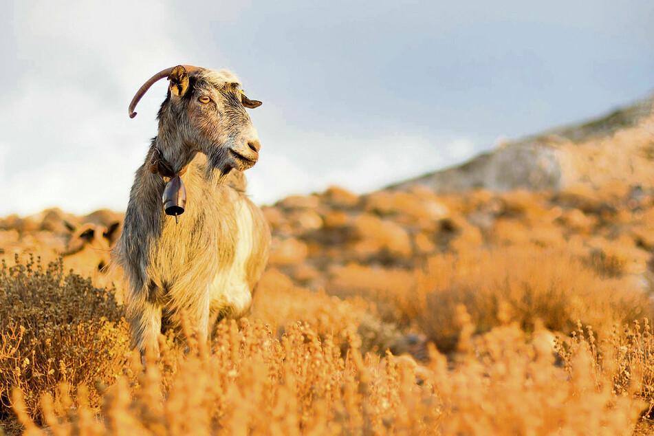 Die Straßen der griechischen Inseln teilt man sich mitunter mit einer Ziegenherde.