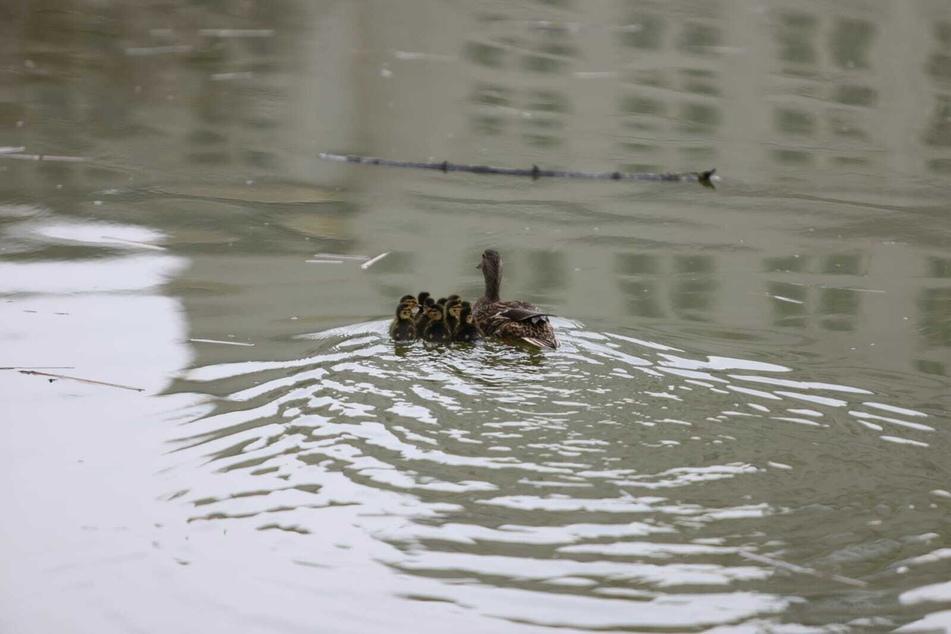 Im Wasser fühlen sich die Enten sichtlich wohl.