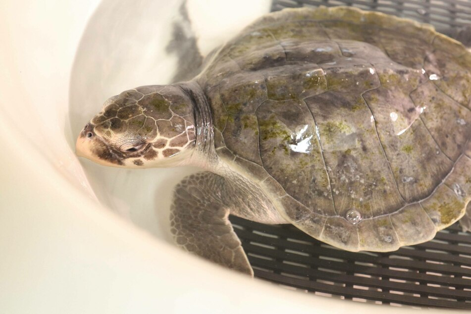 """Turtles fly too"": cold-stunned sea turtles rescued in New England"