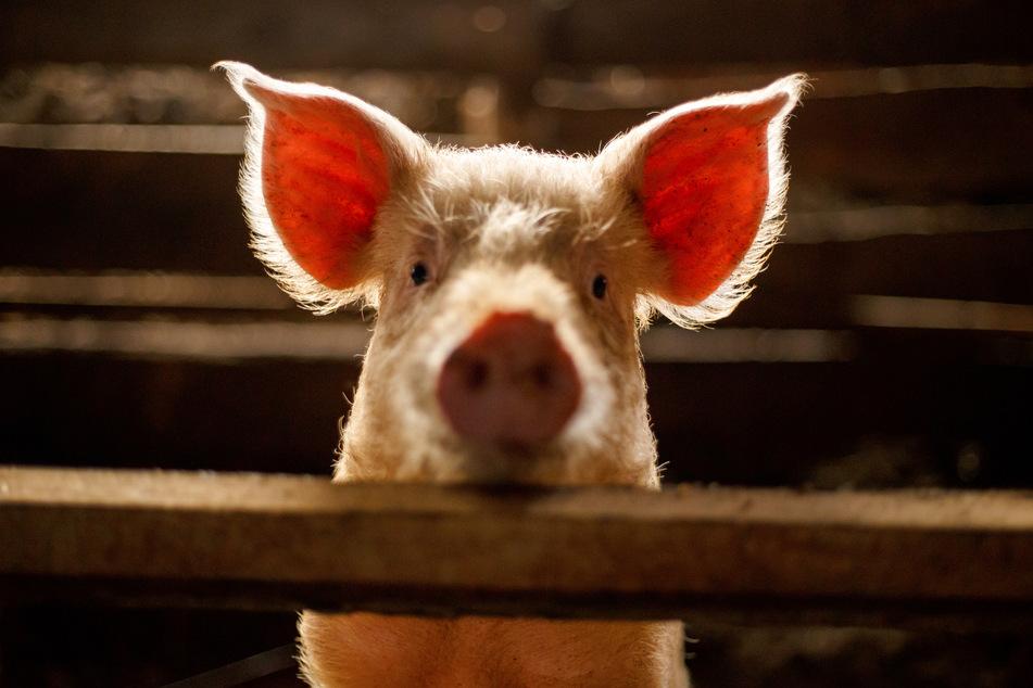 Na da schau einer an. In Großbritannien steht das Tierwohl nun mehr im Fokus.
